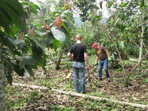 Farming. Two man working in their land in 40 degree´s heat in La Troncal, Cañar, Ecuador, photo taken 10.august, 2015 Stock Photography
