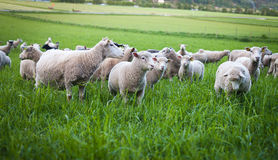 Farmland 2. Flock of sheep grazing in sweden Royalty Free Stock Image