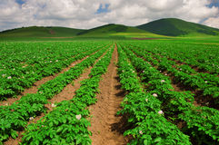 Farmland. This is planted the white potato farmland,This field is located in China's Inner Mongolia grasslands stock photography