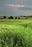Farmland. Cornfield ripening agriculture crops Royalty Free Stock Images
