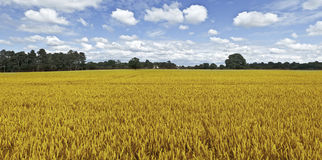 Farmland. Cornfield  harvesting of arable crops Royalty Free Stock Images