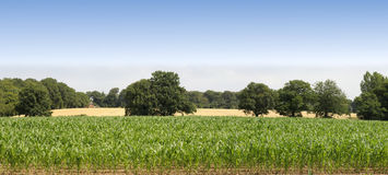 Farmland. Cornfield before harvesting of arable crops Royalty Free Stock Image