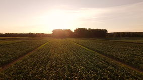Farmland Aerial. V5 Flying low over farmland at sunrise stock video