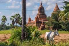 Farmland in ancient Bagan Stock Photo