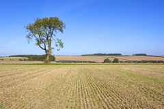 Farmland ash tree Stock Images