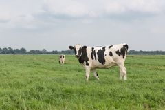 Farmland with black and white cow, the Netherlands Royalty Free Stock Photography