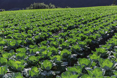 farmland of cabbage Stock Photography