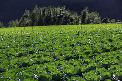 Farmland of cabbage Royalty Free Stock Photography