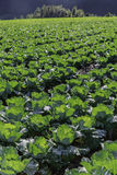 Farmland of cabbage Royalty Free Stock Photos