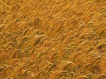Farmland with cereal crops Royalty Free Stock Photos