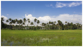 Farmland. Coconut trees and paddy fields under blue cloudy sky Royalty Free Stock Image