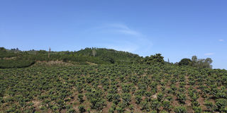 Farmland coffee in Colombia. Royalty Free Stock Photography