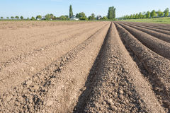 Farmland with converging potato ridges Royalty Free Stock Image