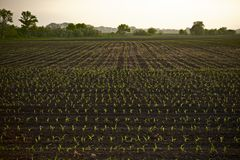Farmland Corn Field. In Illinois, USA. Agriculture Photo Collection Stock Images