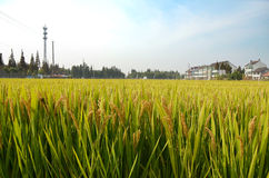 Farmland of countryside. Countryside green farmland closeup in Fengxian Town, Shanghai, China Stock Image