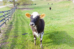 Farmland - Cow Stock Photo