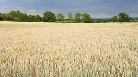 Farmland Crops. Cereal Crops Growing on Farmland Royalty Free Stock Images