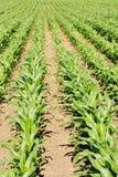 Farmland Crops. Row of Crops Growing on Farmland Royalty Free Stock Image