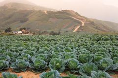 Farmland cultivated cabbage. On the plateau Royalty Free Stock Images