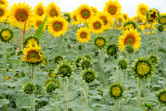 Farmland field of beautiful sunflowers Stock Images