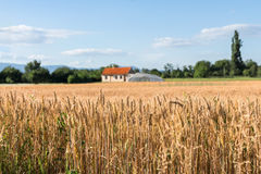 Farmland with golden wheat fields and farm house in the distance. Farmland with golden wheat fields and farm house with red roof in the distance Royalty Free Stock Photo