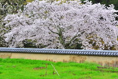 Farmland in Japan in Spring Cherry Blossoms Royalty Free Stock Photo