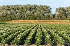Rows of potato plants solanum tuberosum growing on farmland in the summer. Farmland with lush flowering potato plants solanum tuberosum growing in rows during royalty free stock image
