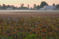 Farmland Morning Mist, Richmond, BC. Morning mist over a pumpkin patch ready to be harvested in Richmond, British Columbia, Canada royalty free stock photo