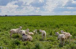 Farmland new zealand mammal summer livestock farming cattle rural goats lamb sky countryside flock grazing herd meadow green sheep royalty free stock image