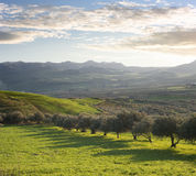 Farmland With Olive Trees At Sunset Royalty Free Stock Photos