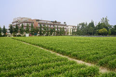 Farmland planted with Chinese chives before buildings in sunny s Stock Images