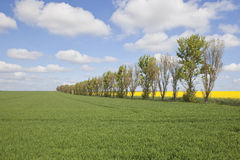 Farmland with poplar trees. An english landscape with a row of poplar trees trees in farmland under a blue cloudy sky in springtime Stock Image