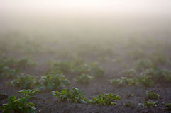 Farmland with potato during a foggy sunrise Royalty Free Stock Images