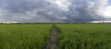 Farmland rice and sky Royalty Free Stock Photo