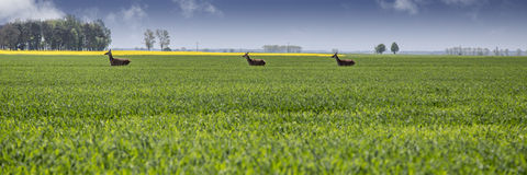 Farmland with running roe deers Stock Photos