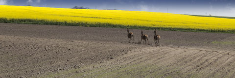 Farmland with running roe deers Stock Images