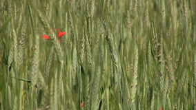 Farmland with rye stock footage