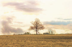 Farmland in spring evening and a big tree without leaf Royalty Free Stock Photography