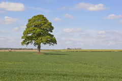 Farmland with tree. An english landscape with a lone tree in a field of crops with a blue sky in springtime Royalty Free Stock Photos