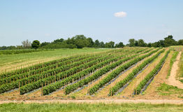 Farmland With Vegetable Plants Stock Image