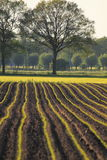 Farmland with young corn plants Stock Photos