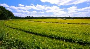 Farmlandscape avec la végétation vert clair Photos stock
