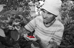 Farmor och i hennes trädgård - hallon Royaltyfri Bild