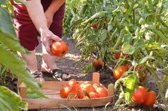 Farmor som upp väljer nya tomater i trädgården Arkivfoto