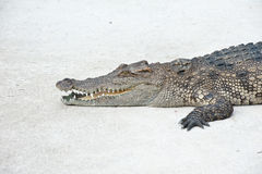 Farms Crocodiles Stock Photography