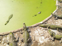 Farms Crocodiles. Green water outdoor royalty free stock images