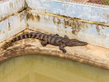Farms Crocodiles. Sleeping crocodiles Royalty Free Stock Photography