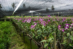 Farms grow orchids in Thailand. Royalty Free Stock Photos