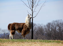 Farms of Middleburg. Alpaca's farm in Middleburg Virginia Stock Images
