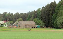 Homestead and flying bird in spring, Lithuania. Farmstead and beautiful flying bird in spring royalty free stock photo